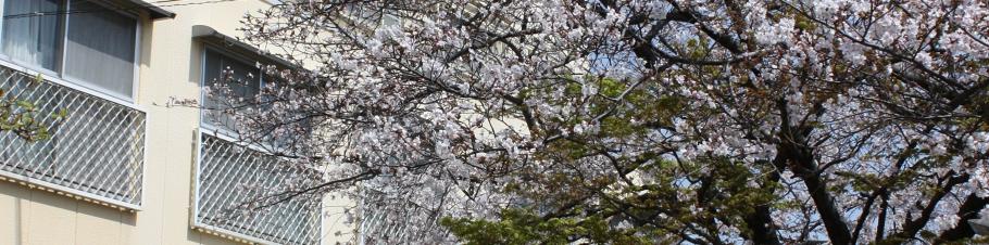 聖母託児園の庭には大きな桜があります。春には子ども達もお花見をしつつ日光浴。